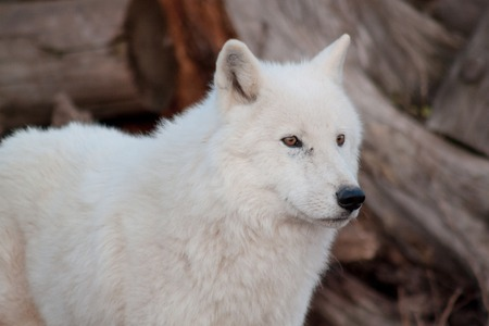 White alaskan tundra wolf close up. Canis lupus arctos. Polar wolf or white wolf. Animals in wildlife.