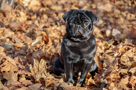 Cute chinese pug puppy is sitting on a autumn park . Dutch mastiff or mops. Pet animals. Purebred dog. Reklamní fotografie