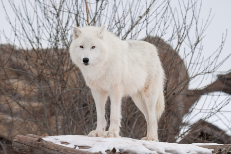 Wild alaskan tundra wolf is looking at the camera. Canis lupus arctos. Polar wolf or white wolf. Animals in wildlife.