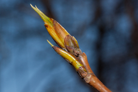 Young twig of blossoming poplar tree. Populus canadensis. Awakening of nature.