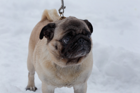 Chinese pug puppy is standing on the white snow. Dutch mastiff or mops. Pet animals. Purebred dog.