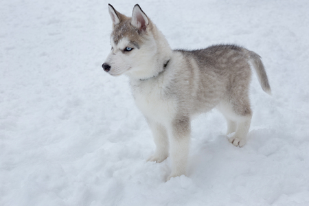 Cute siberian husky puppy is standing on the white snow. Pet animals. Purebred dog. Stockfoto