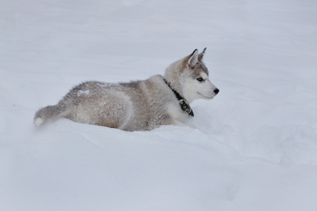 Cute siberian husky puppy is lying on the white snow. Pet animals. Purebred dog.