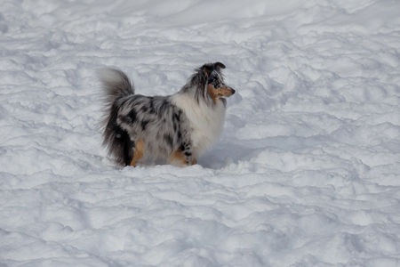 Blue merle shetland sheepdog puppy is standing on a white snow. Shetland collie or sheltie. Pet animals. Purebred dog.