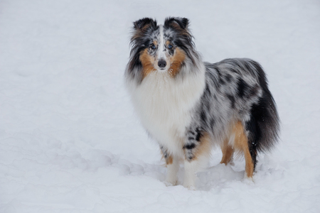 Cute blue merle shetland sheepdog puppy is standing on a white snow. Shetland collie or sheltie. Pet animals.