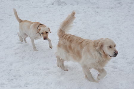 Cute golden retriever and labrador retriever are playing on the white snow. Pet animals. Purebred dog. Standard-Bild
