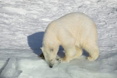 Cachorro de oso polar está de pie sobre la nieve blanca. Ursus maritimus o Thalarctos maritimus. Animales en vida silvestre. Foto de archivo
