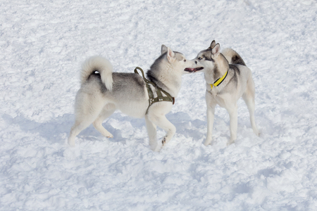 Two siberian husky are playing on a white snow. Pet animals. Purebred dog.