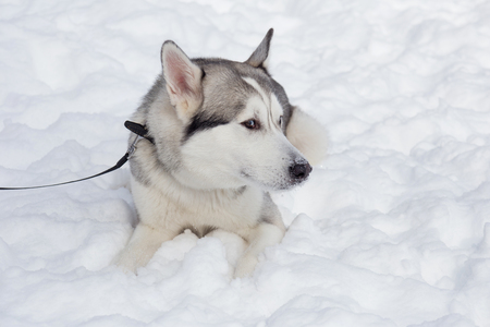 Cute siberian husky is lying on a white snow. Pet animals. Purebred dog.