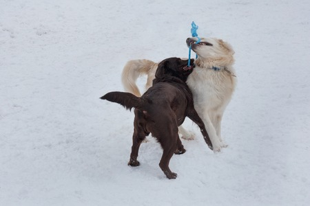 Cute golden retriever and chocolate labrador are playing on a white snow. Pet animals.