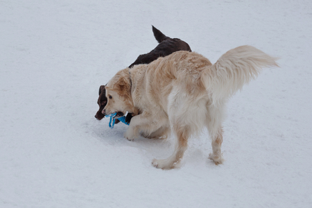 Cute golden retriever and chocolate labrador are playing on a white snow with his toy. Pet animals.