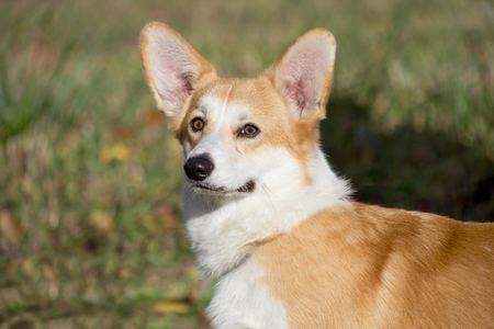 Cute pembroke welsh corgi puppy is standing in the autumn foliage. Pet animals.