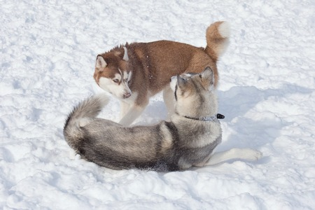 Two siberian husky are playing on a white snow in the park. Pet animals. 免版税图像