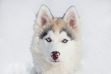 Cute siberian husky puppy is looking at the camera. Three month old. Pet animals. Stock Photo