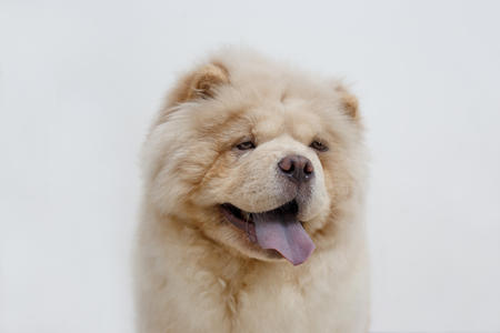 Cute chow chow puppy with lolling tongue. Isolated on a white background. Pet animals.