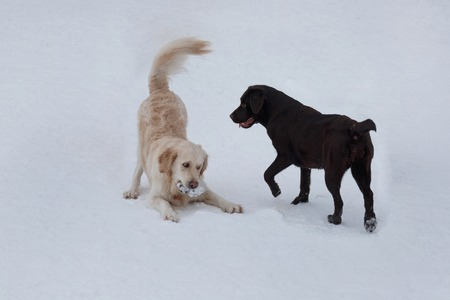 Golden retriever and chocolate labrador are playing on a white snow. Pet animals.