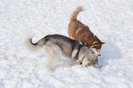 Two siberian husky are playing on a white snow in the park. Pet animals. Stock Photo