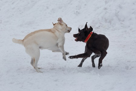 Two labrador retrievers puppies are playing on a white snow. Pet animals. Purebred dog. Stock Photo