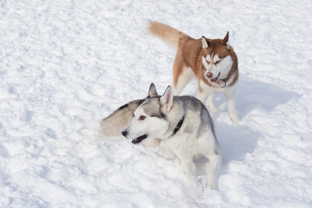 Two cute siberian husky are playing on a white snow in the park. Pet animals. Purebred dog.