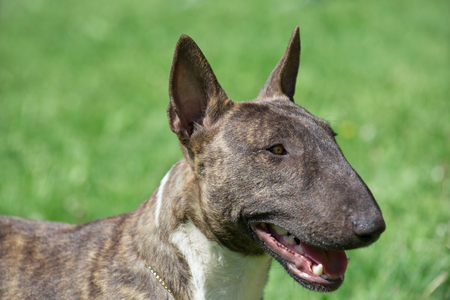 Miniature brindle and white bull terrier close up. English bull terrier or wedge head. Stock Photo