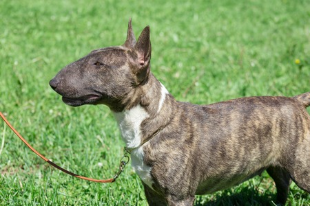 Miniature bull terrier is standing on a green grass. English bull terrier or wedge head. Stock Photo
