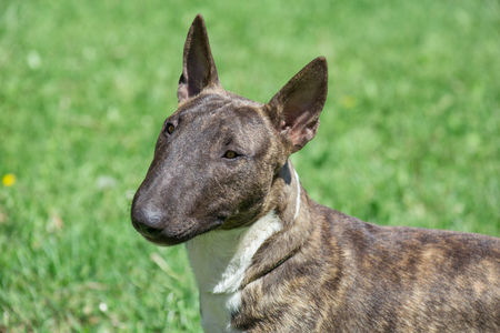 Miniature brindle and white bull terrier is standing on a green grass. English bull terrier or wedge head. Stock Photo