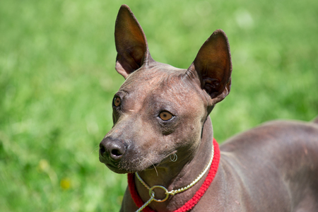American hairless terrier puppy is standing on a green meadow. Close up.
