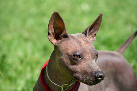 American hairless terrier puppy in beautiful dog collar. Pet animals.