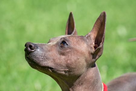 Portrait of american hairless terrier puppy. Pet animals.