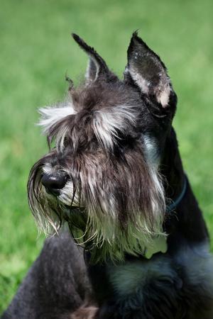 Cute zwergschnauzer puppy close up. Miniature schnauzer or dwarf schnauzer. Pet animals. Stock Photo