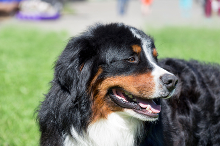 Cute bernese mountain dog puppy is standing on a green meadow. Berner sennenhund or bernese cattle dog. Stock Photo