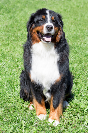 Cute bernese mountain dog puppy is sitting on a green meadow. Berner sennenhund or bernese cattle dog.