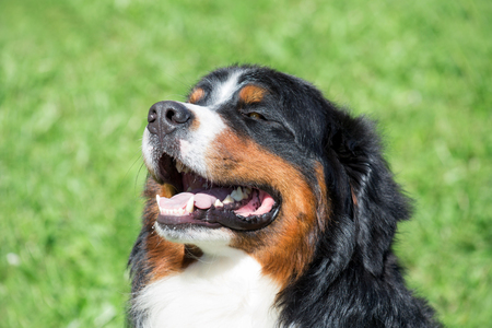 Cute bernese mountain dog puppy is sitting on a green grass with lolling tongue. Berner sennenhund or bernese cattle dog. Stock Photo