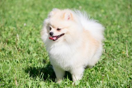 Cute pomeranian spitz puppy cream colored is standing on a spring meadow. Deutscher spitz or zwergspitz.