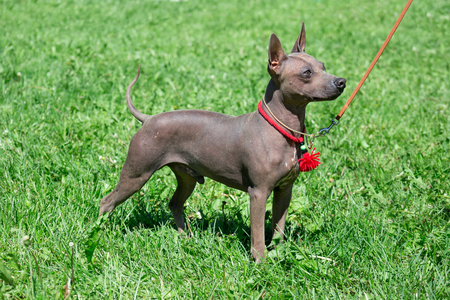 American hairless terrier puppy is standing on a green grass. Stock Photo
