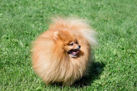 Cute pomeranian spitz puppy is standing on a spring meadow. Deutscher spitz or zwergspitz.