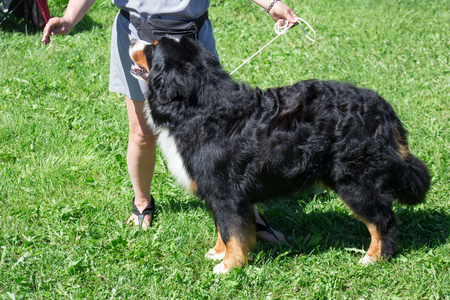Cute bernese mountain dog puppy is standing on a green meadow with his owner. Pet animals. Stock Photo