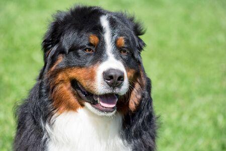 Lindo cachorro de perro de montaña bernés de cerca. Berner sennenhund o perro de ganado bernés.