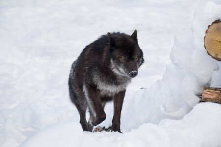 Wild black canadian wolf is running on a white snow. Canis lupus pambasileus. Animals in wildlife.