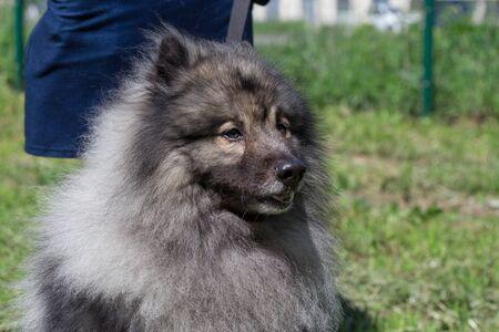 Deutscher wolfspitz is standing on a green meadow with his owner. Keeshond or german spitz. Pet animals.