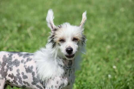 Cute powderpuff chinese crested dog is standing on a green meadow. Pet animals. Purebred dog.