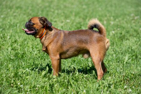 Cute petit brabancon puppy is standing on a green grass. Pet animals. Purebred dog.
