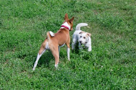 Jack russell terrier puppy and basenji are playing on a green meadow. Pet animals.