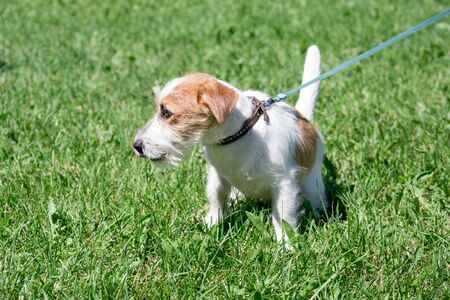 Cute jack russell terrier puppy is sitting in a green grass. Pet animals. Purebred dog.