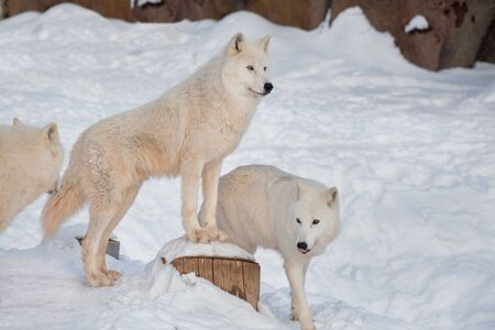 Three wild alaskan tundra wolves are standing on a white snow. Canis lupus arctos. Polar wolf or white wolf.