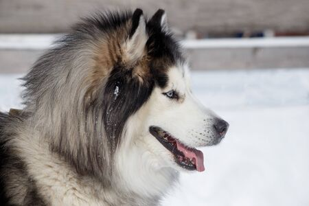 Portrait of siberian husky on a white snow. Pet animals.