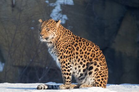 Wild leopard is sitting on a white snow. Panthera pardus. Animals in wildlife.