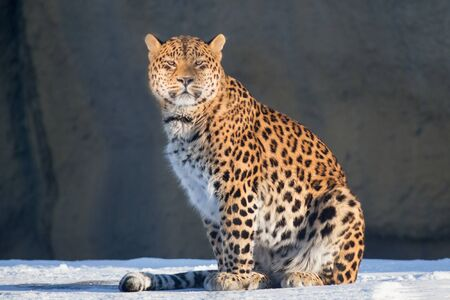 Wild leopard is looking at the camera. Panthera pardus. Animals in wildlife.