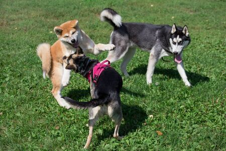 Siberian husky, akita inu puppy and black mongrel are playing on a green meadow in the park. Pet animals. Purebred dog.