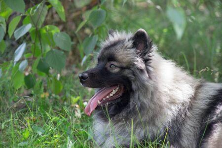Deutscher wolfspitz is lying on a green grass. Keeshond or german spitz. Pet animals. Seven month old.